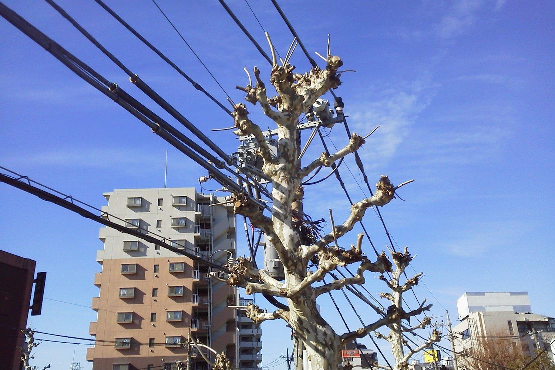 電柱に見える街路樹|とっておき...