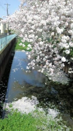 桜ひらひら